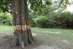 Big Tree Dead in Copenhagen