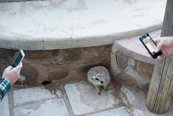 This Meerkat is Insta Famous