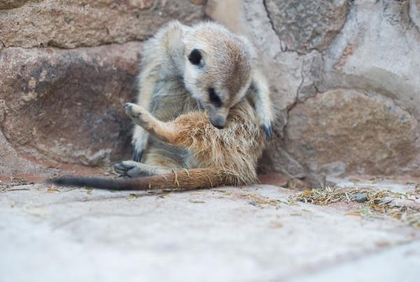 Meerkats as Household Pets