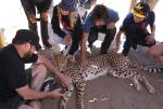 Mark Waters, Alana Smith, Micky Papa and Mitchie Brusco petting a cheetah. Thanks for always helping organize these adventures Mark!