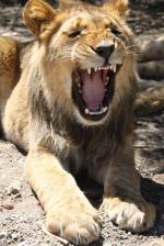 South Africa Photography Lion Yawn