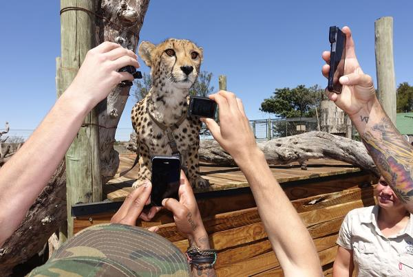 Famous Cheeta on Tourist Mission in South Africa