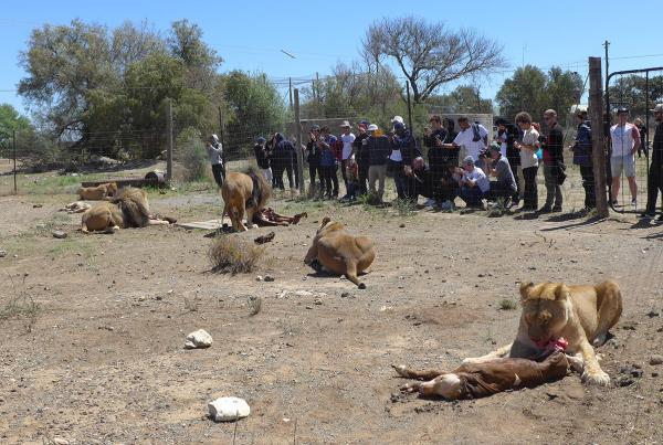 The Feeding Scene on South Africa Tourist Mission